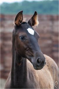 Photo cheval a vendre QUINOA DE LA GESSE